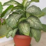 Planta peligrosa Dieffenbachia