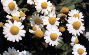 salut-infantil-29b-flores-margaritas